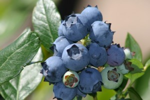 California Giant Berry Farms Enters Fall with a New Crop