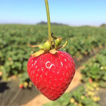 LIVE From the California Giant Strawberry Fields!