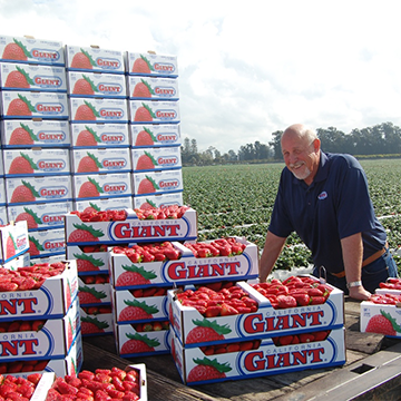 A Day in the Life of a California Giant Strawberry
