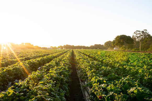sustainable strawberry field