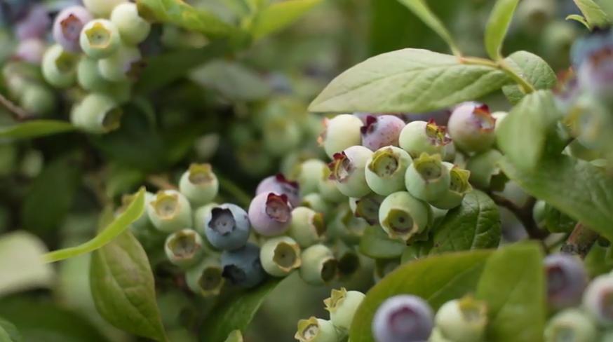 Blueberries Beyond California
